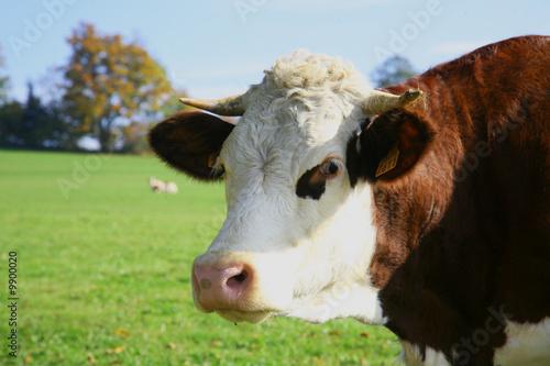 Poster de jardin Vache montbeliarde vache