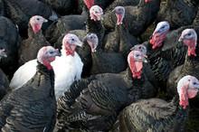 A Flock Of Black Turkeys With ...