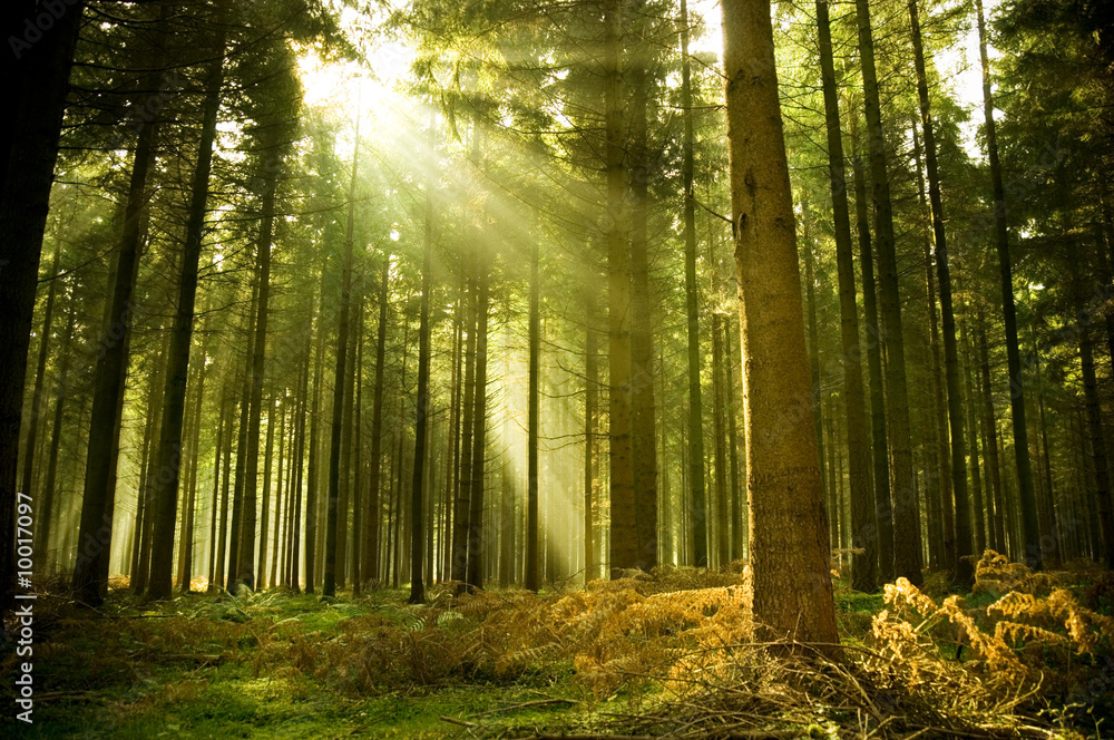 Fototapeta Pine forest with the last of the sun shining through the trees.