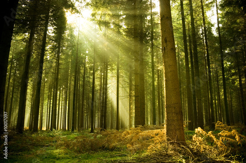 Pine forest with the last of the sun shining through the trees.