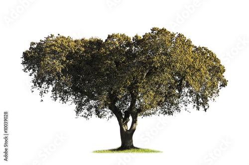 Holm oak (Quercus ilex) in the blooming season Canvas Print