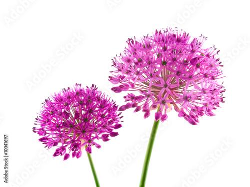 Photo Allium Purple Sensation Flower