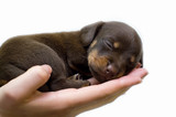 Fototapeta Zwierzęta - puppy sleeps on the girl's hand