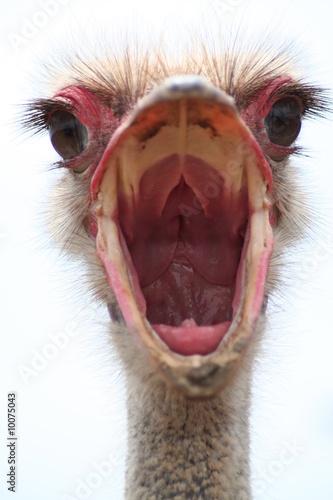 Foto op Canvas Struisvogel struzzo