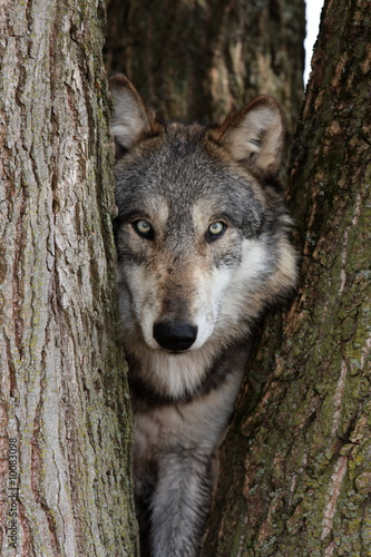 Photo  wolf canis lupus