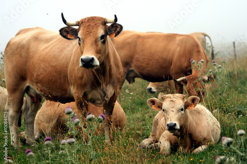 Photo sur Aluminium Vache Aubrac