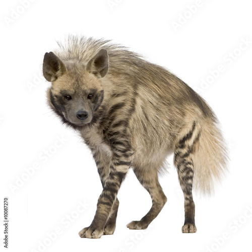 Poster de jardin Hyène Striped Hyena in front of a white background