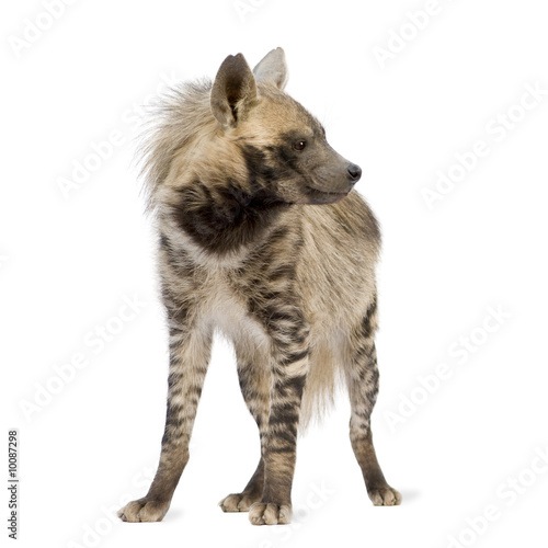 Foto op Aluminium Hyena Striped Hyena in front of a white background