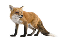 Red Fox - Vulpes Vulpes In Fro...