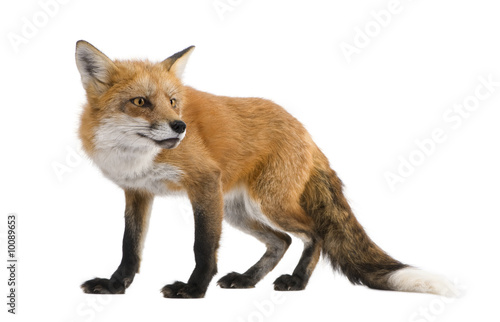 Red fox - Vulpes vulpes in front of a white background Wallpaper Mural