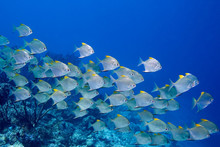 A School Of Dart Fish Swimming Over The Reef
