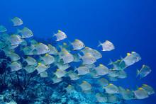 A School Of Dart Fish Swimming...
