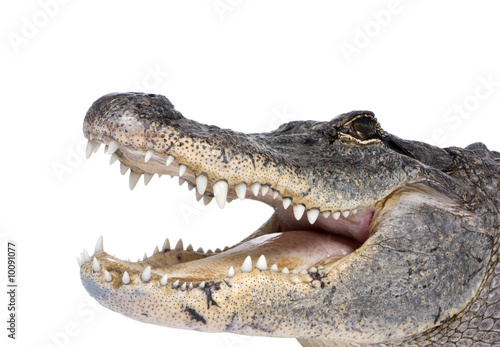 Fototapeta premium American Alligator in front of a white background