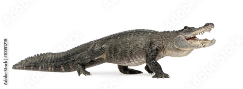 Poster Crocodile American Alligator in front of a white background