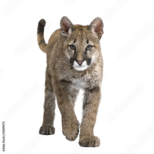 Spoed Fotobehang Puma Puma cub - Puma concolor in front of a white background