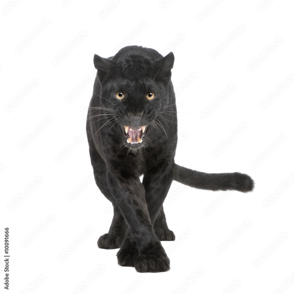 Fotografie, Obraz Black Leopard (6 years) in front of a white background