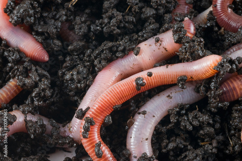 Earthworm in the earth