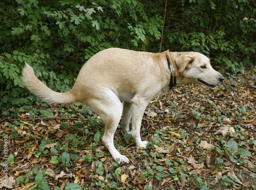 Photo  Golden labrabor doing her ablutions in forest