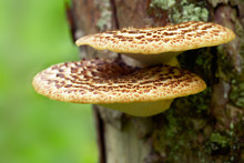 Polyporus Squamosus Mushrooms ...