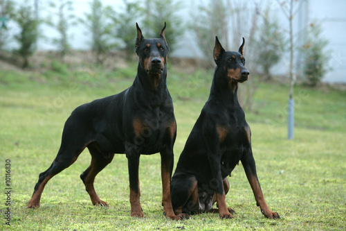 Couple de Dobermann montant la garde Canvas Print