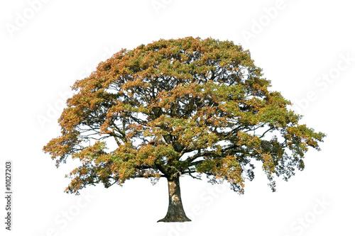 Fotografia, Obraz  Oak Tree In Autumn