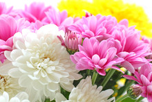 Close Up Of The Colorful Chrysanthemum