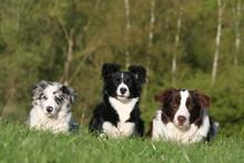 Trois Border Collie Assis Dans L'herbe