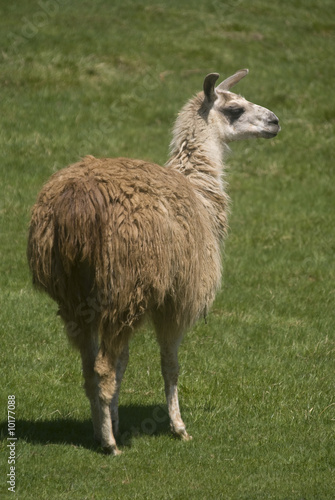 Close up of a Llama (Lama glama)