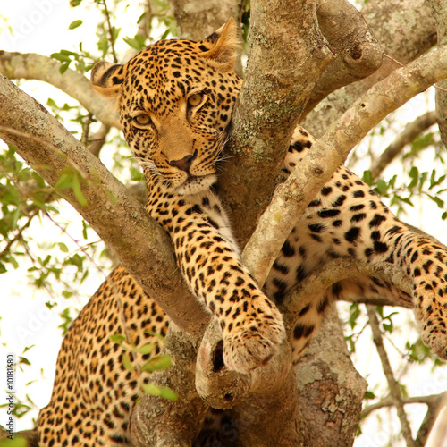 Tuinposter Luipaard Leopard in a tree in the Sabi Sands Reserve