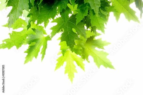Foto-Banner - Green fresh maple leaves