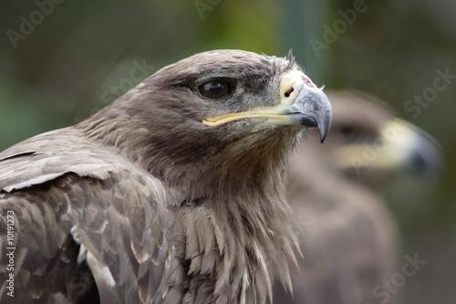 Garden Poster Parrot Steppe eagle head. Narrow depth of field.