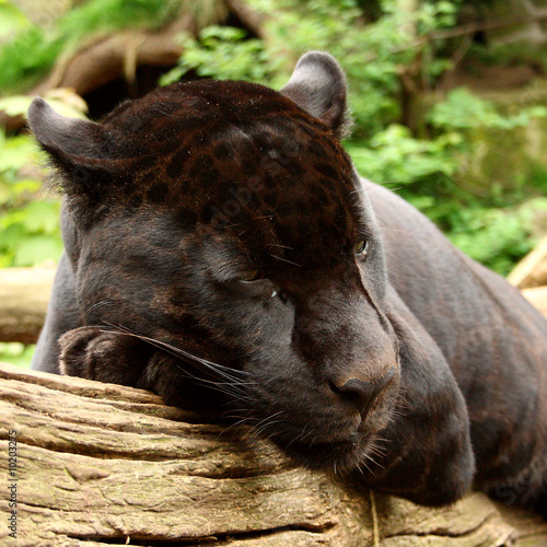 Tuinposter Panter Sleeping black jaguar, (Bagheera from Jungle book?)