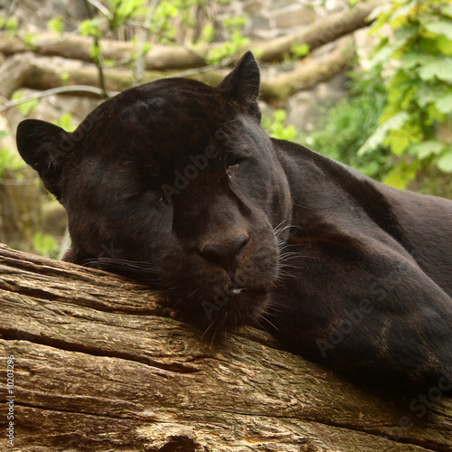 Photo  Sleeping black jaguar, (Bagheera from Jungle book?)