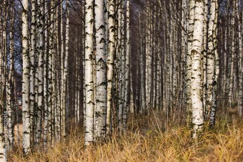 Deurstickers Berkbosje Betula's forest in autumn
