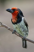 Black Collared Barbet Bird With Striking Red Face