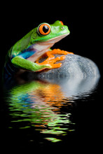 Red-eyed Tree Frog On A Rock With Water Reflection Isolated