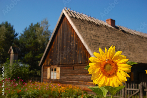 Sunflower in front of old stylish cottage house #10240426