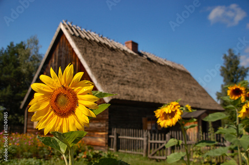 Sunflower in front of old cottage house #10240485