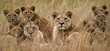 canvas print picture - Family of African Lions looking very alert