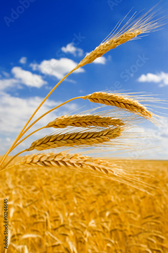 Doppelrollo mit Motiv - golden wheat in the blue sky background. (von Dmitry Sunagatov)