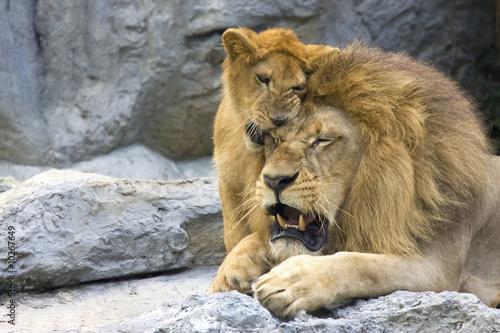 Fotografie, Obraz  big lion with little cub