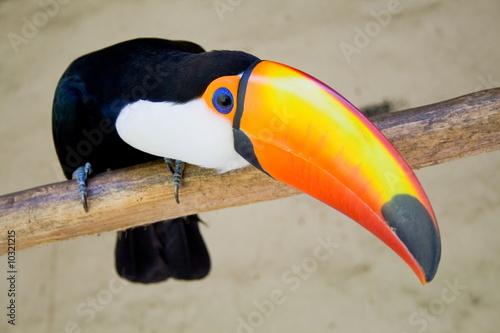 Deurstickers Toekan toucan bird