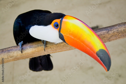 Papiers peints Toucan toucan bird