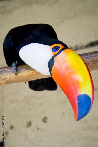 In de dag Toekan toucan bird