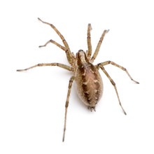Barn Funnel Weaver Spider In Front Of A White Background