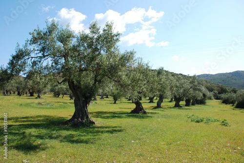 Tuinposter Olijfboom Champ d'oliviers