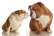 Two English Bulldog Kissing Isolated On White Background