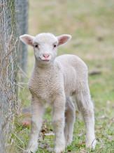 Great Image Of A Cute Baby Lamb