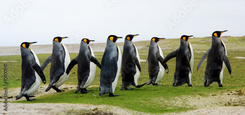 Photo sur Toile Pingouin 8 King Penguins walking in a line