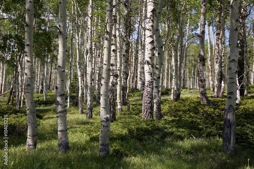 Foto op Plexiglas Berkbosje Birkenwaldpanorama